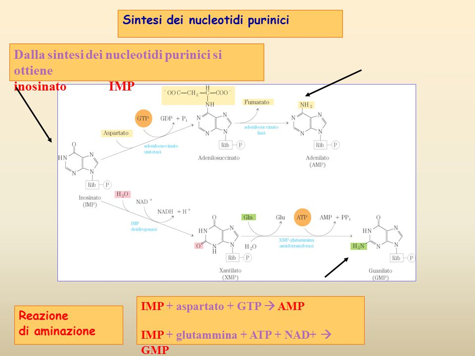 Dalla sintesi dei nucleotidi purinici si ottiene inosinato IMP