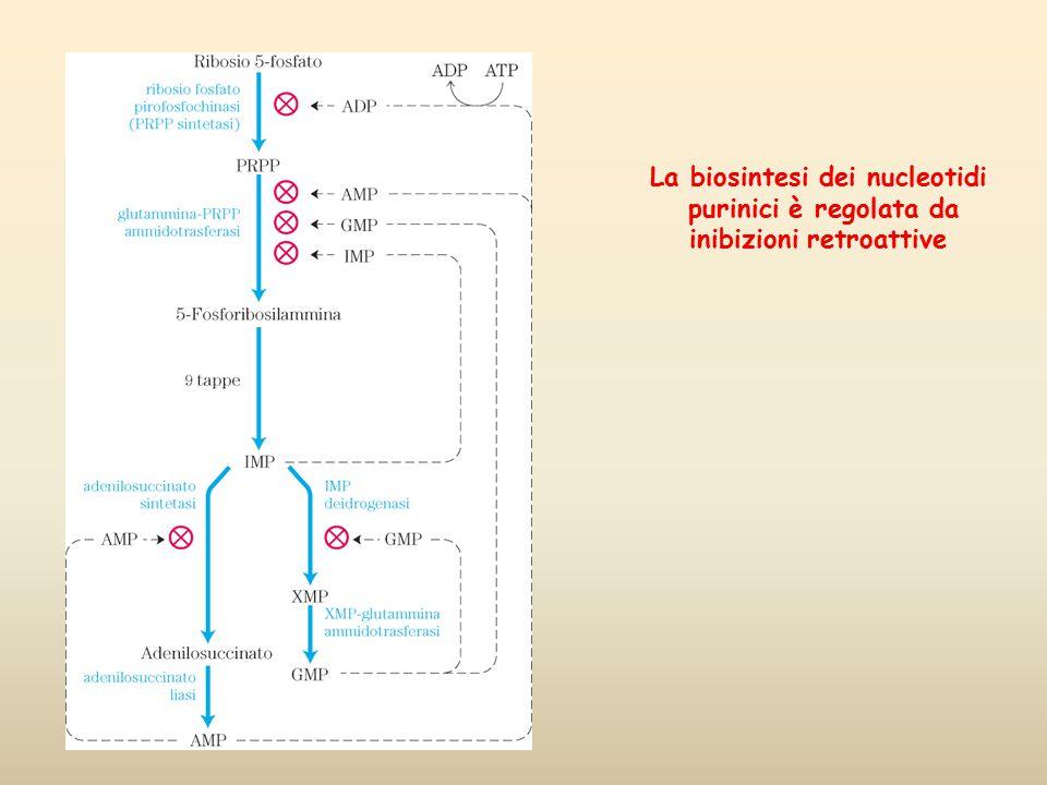 La biosintesi dei nucleotidi inibizioni retroattive