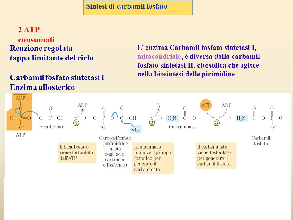 tappa limitante del ciclo Carbamil fosfato sintetasi I