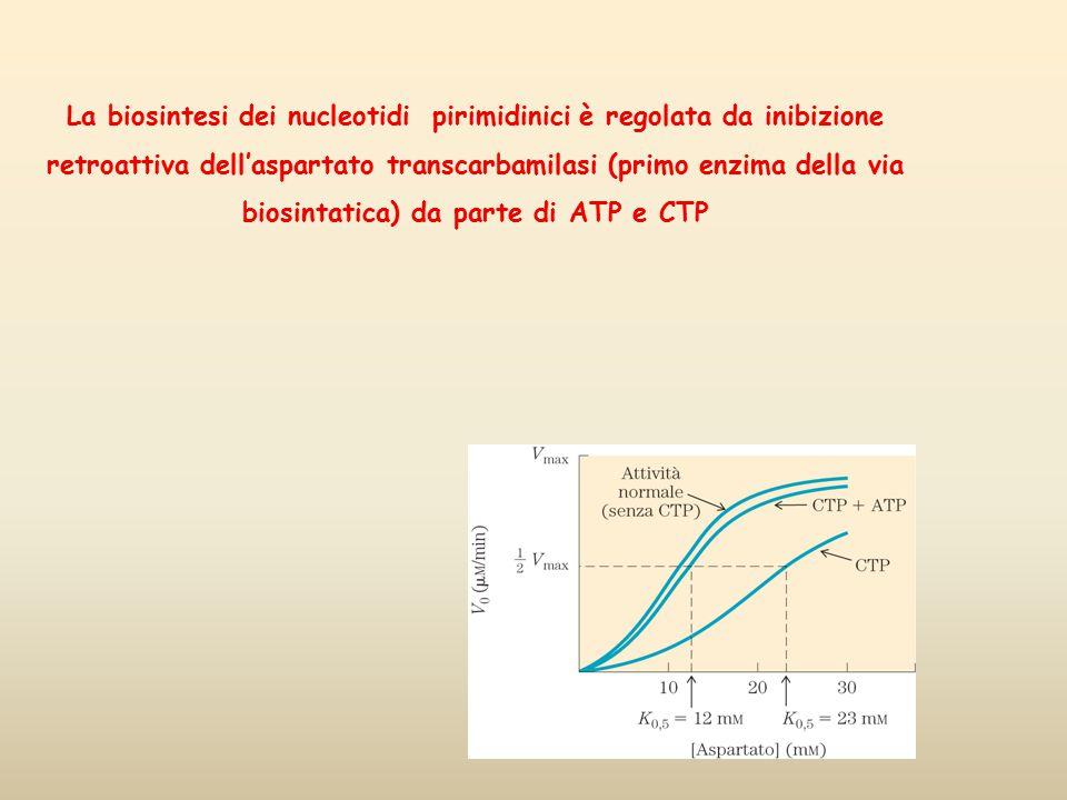 La biosintesi dei nucleotidi pirimidinici è regolata da inibizione retroattiva dell'aspartato transcarbamilasi (primo enzima della via biosintatica) da parte di ATP e CTP