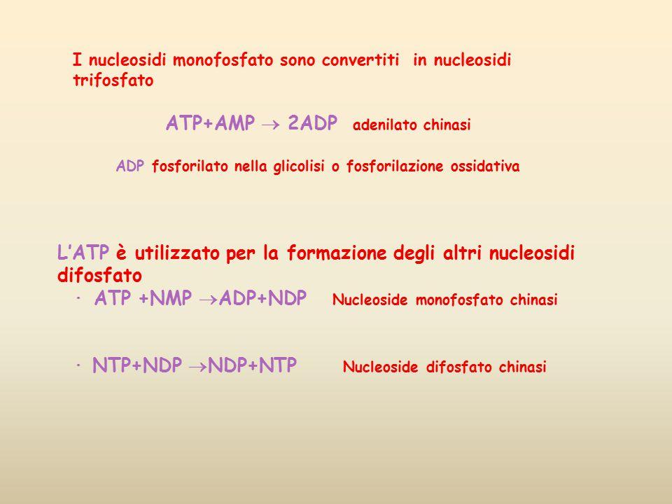 ATP+AMP  2ADP adenilato chinasi