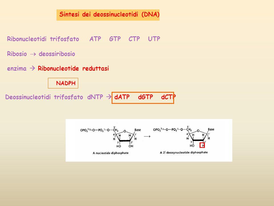 Sintesi dei deossinucleotidi (DNA)