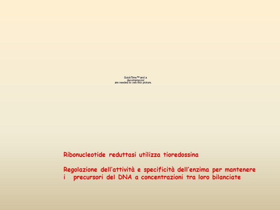 Ribonucleotide reduttasi utilizza tioredossina