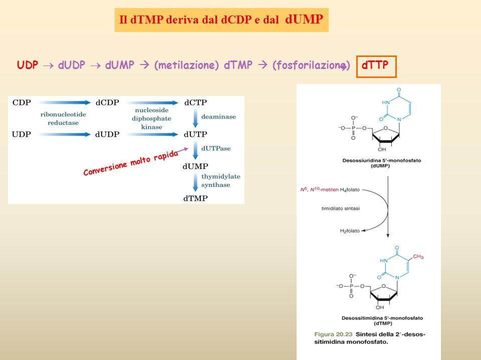 Il dTMP deriva dal dCDP e dal dUMP