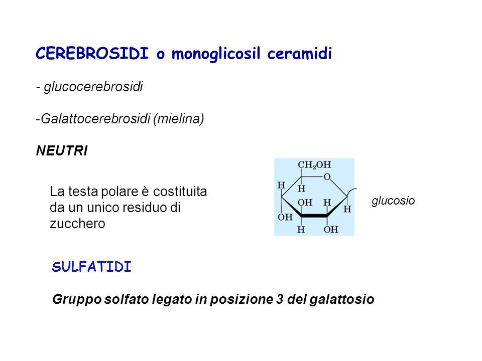 CEREBROSIDI o monoglicosil ceramidi