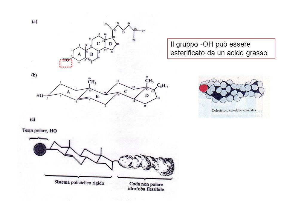 Il gruppo -OH può essere esterificato da un acido grasso