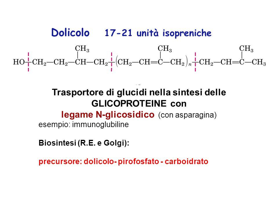 Trasportore di glucidi nella sintesi delle GLICOPROTEINE con