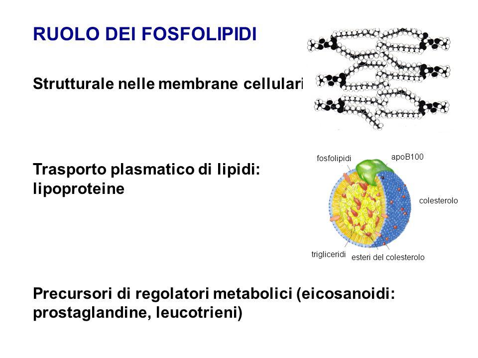 RUOLO DEI FOSFOLIPIDI Strutturale nelle membrane cellulari