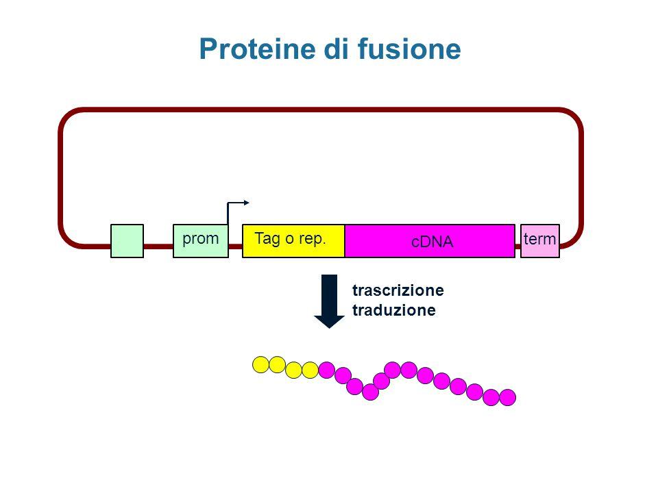 Proteine di fusione prom Tag o rep. cDNA term trascrizione traduzione