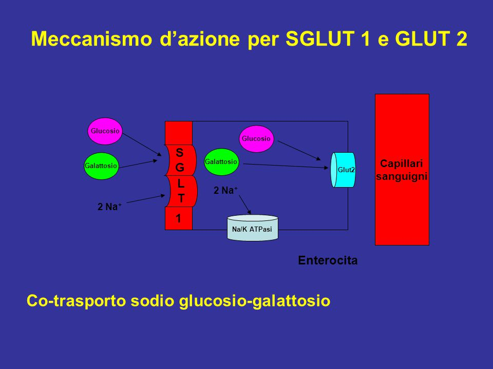Meccanismo d'azione per SGLUT 1 e GLUT 2