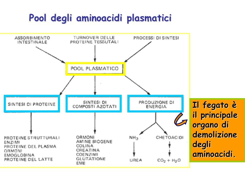 Pool degli aminoacidi plasmatici