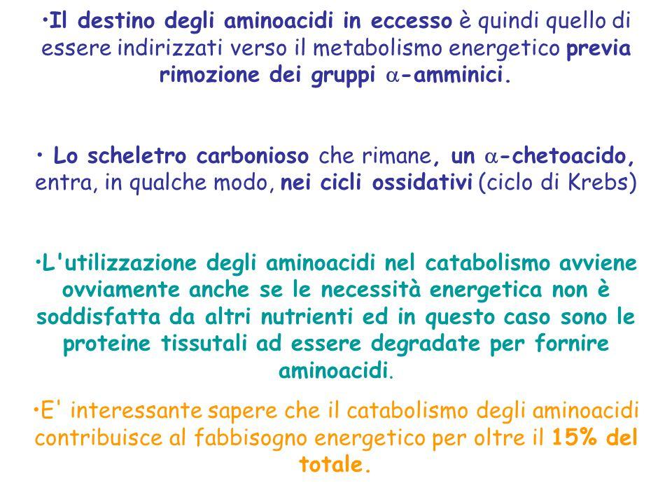 Il destino degli aminoacidi in eccesso è quindi quello di essere indirizzati verso il metabolismo energetico previa rimozione dei gruppi -amminici.