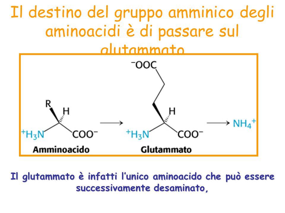 Il destino del gruppo amminico degli aminoacidi è di passare sul glutammato