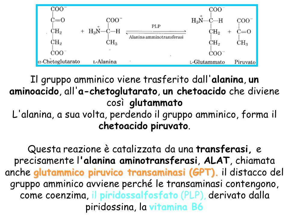 Il gruppo amminico viene trasferito dall alanina, un aminoacido, all a-chetoglutarato, un chetoacido che diviene così glutammato