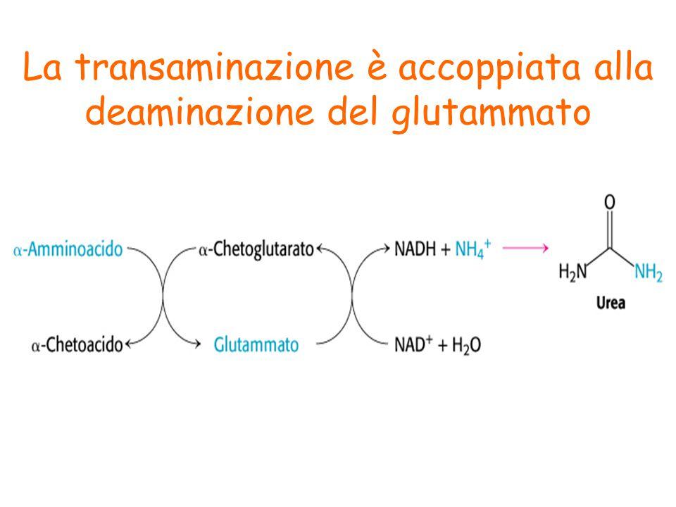 La transaminazione è accoppiata alla deaminazione del glutammato