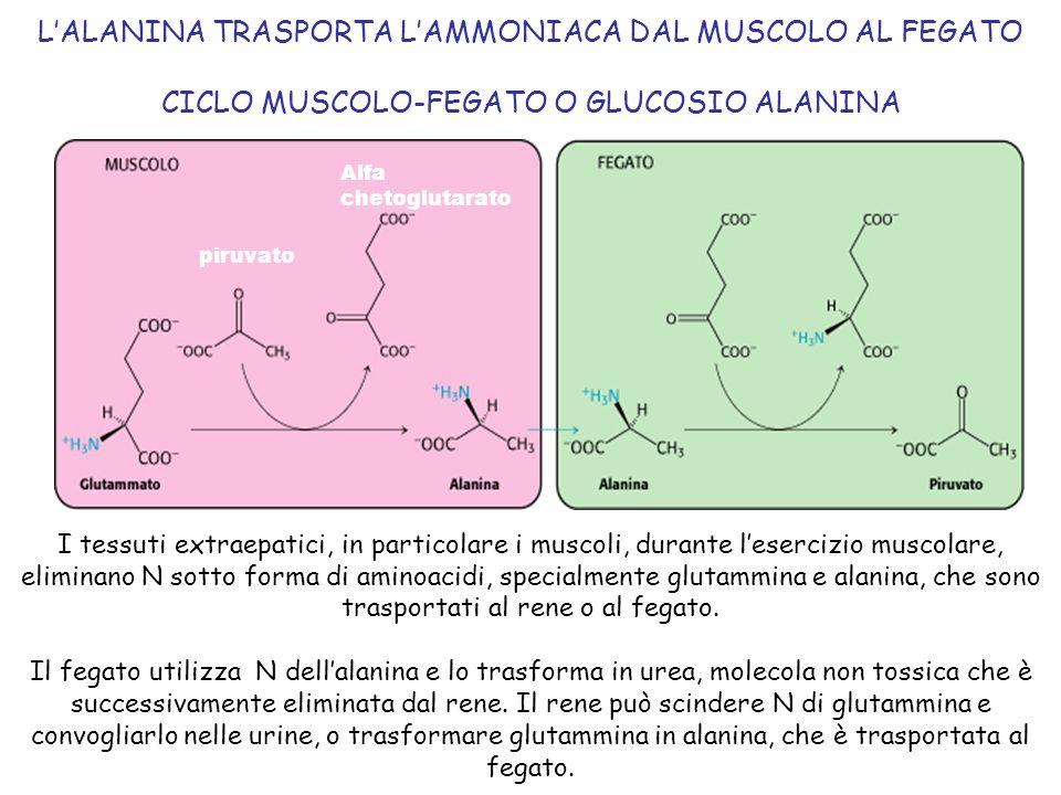 L'ALANINA TRASPORTA L'AMMONIACA DAL MUSCOLO AL FEGATO CICLO MUSCOLO-FEGATO O GLUCOSIO ALANINA