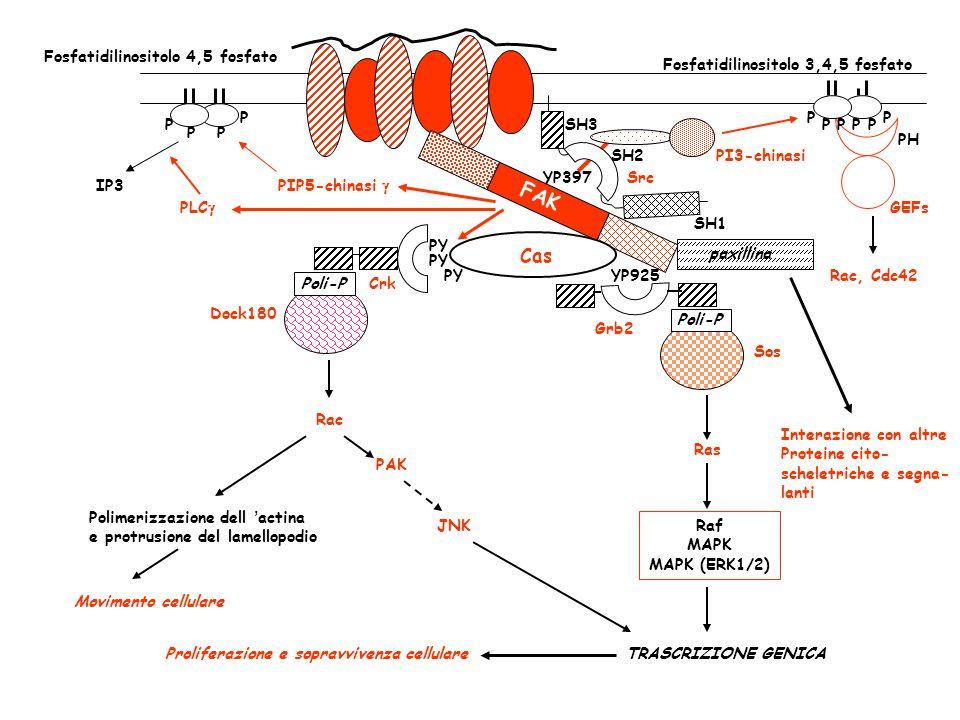 FAK Cas Fosfatidilinositolo 4,5 fosfato