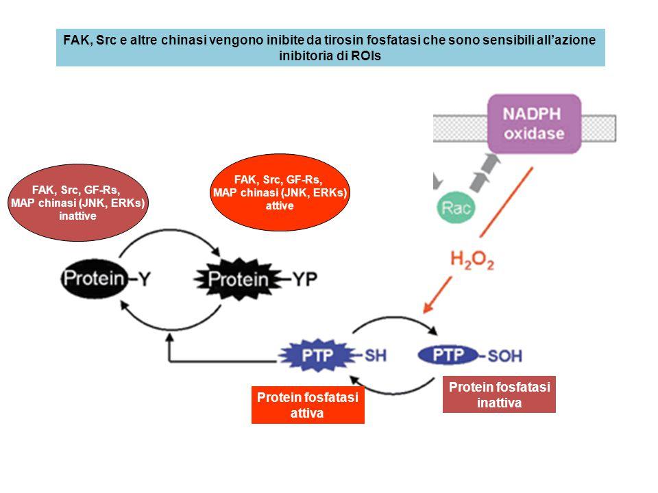 FAK, Src e altre chinasi vengono inibite da tirosin fosfatasi che sono sensibili all'azione