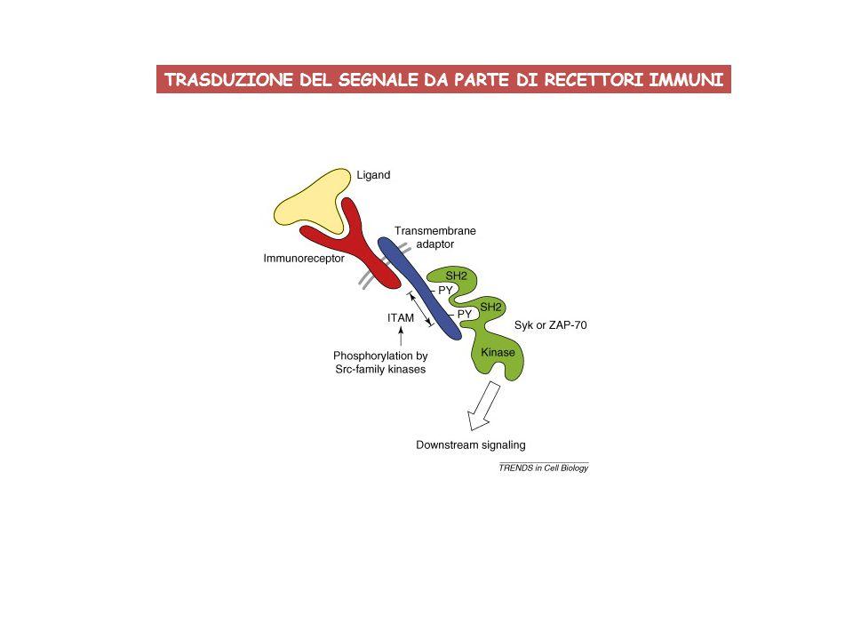 TRASDUZIONE DEL SEGNALE DA PARTE DI RECETTORI IMMUNI