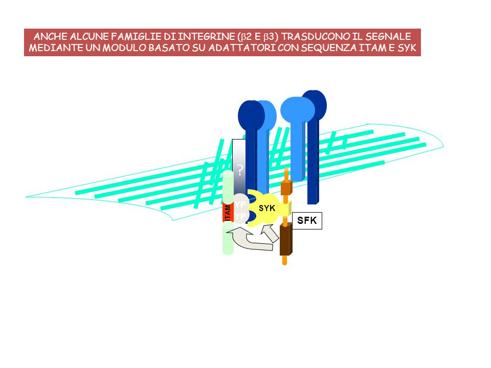 ANCHE ALCUNE FAMIGLIE DI INTEGRINE (b2 E b3) TRASDUCONO IL SEGNALE