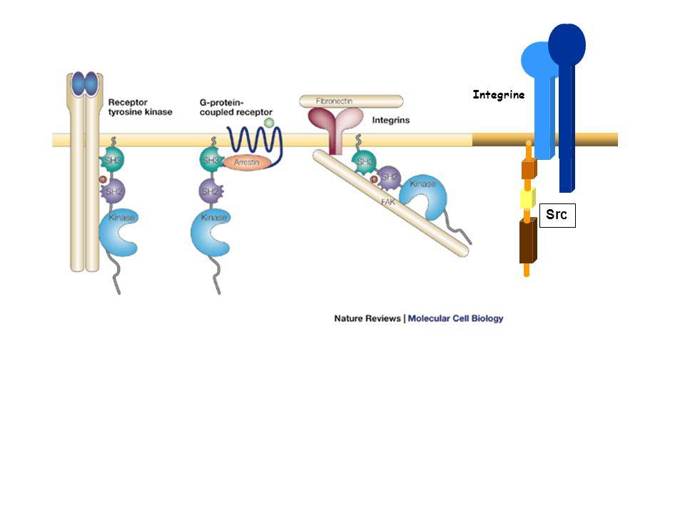Integrine Src