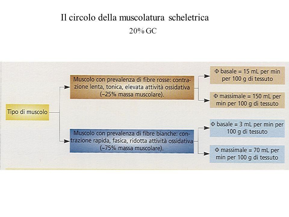 Il circolo della muscolatura scheletrica
