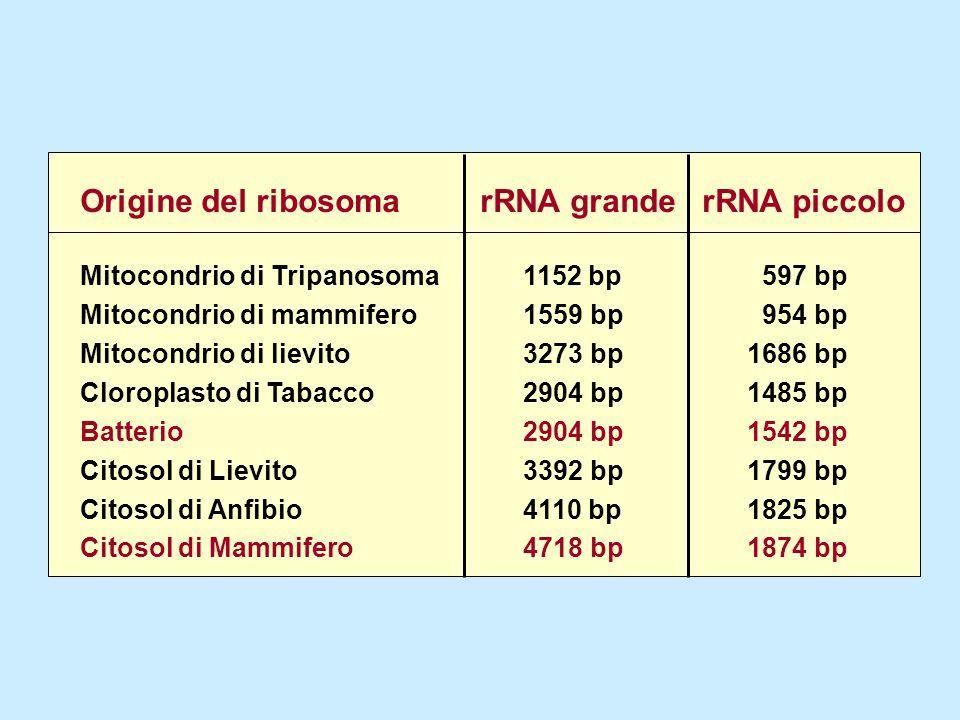 Origine del ribosoma rRNA grande rRNA piccolo