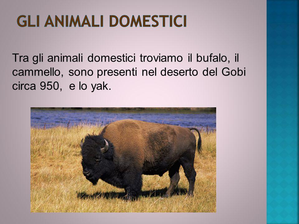 Gli animali domestici Tra gli animali domestici troviamo il bufalo, il cammello, sono presenti nel deserto del Gobi circa 950, e lo yak.
