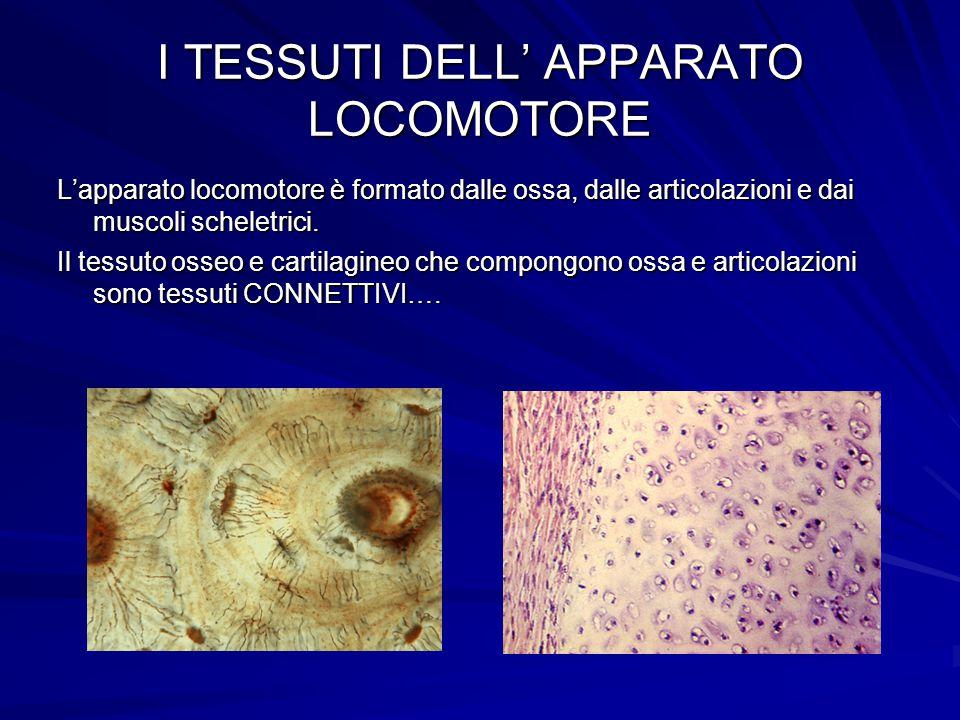 I TESSUTI DELL' APPARATO LOCOMOTORE