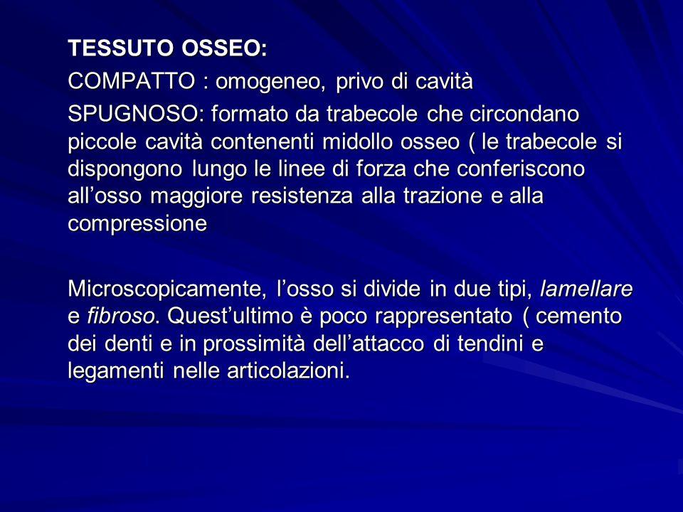 TESSUTO OSSEO: COMPATTO : omogeneo, privo di cavità.