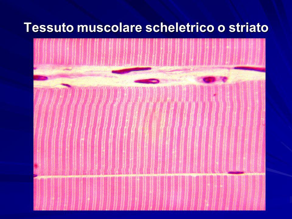 Tessuto muscolare scheletrico o striato