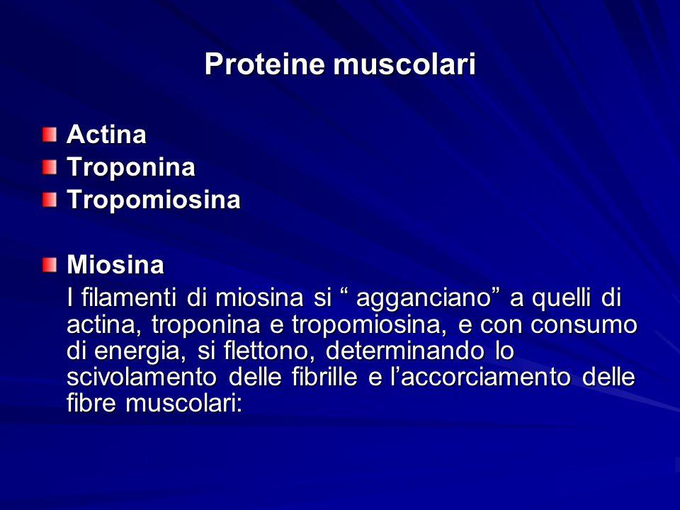 Proteine muscolari Actina Troponina Tropomiosina Miosina