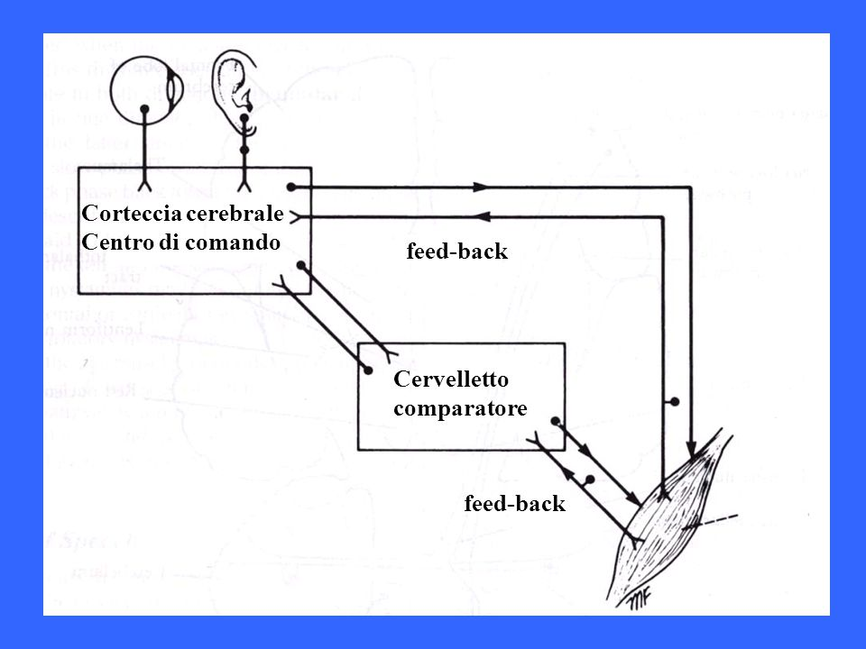 Corteccia cerebrale Centro di comando feed-back Cervelletto comparatore feed-back