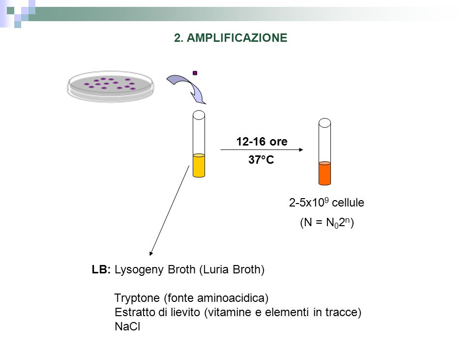 2. AMPLIFICAZIONE 12-16 ore. 37°C. 2-5x109 cellule. (N = N02n) LB: Lysogeny Broth (Luria Broth)