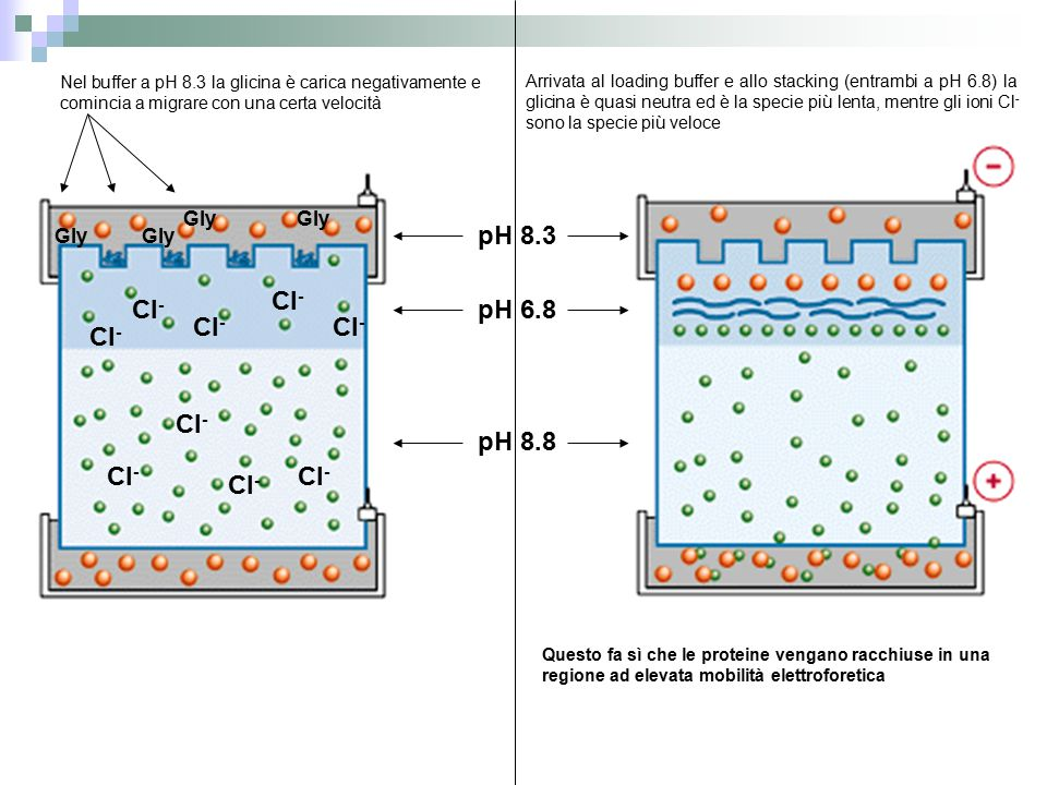 pH 8.3 Cl- Cl- pH 6.8 Cl- Cl- Cl- Cl- pH 8.8 Cl- Cl- Cl- Gly Gly Gly