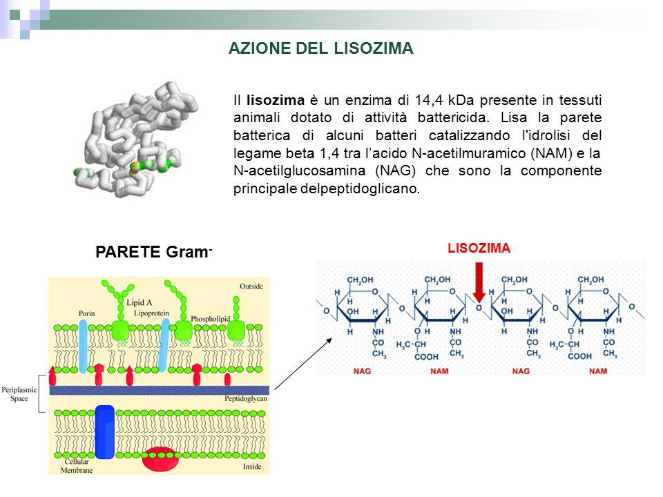 AZIONE DEL LISOZIMA PARETE Gram-