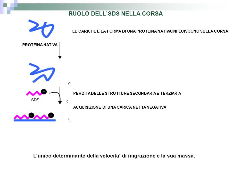 RUOLO DELL'SDS NELLA CORSA
