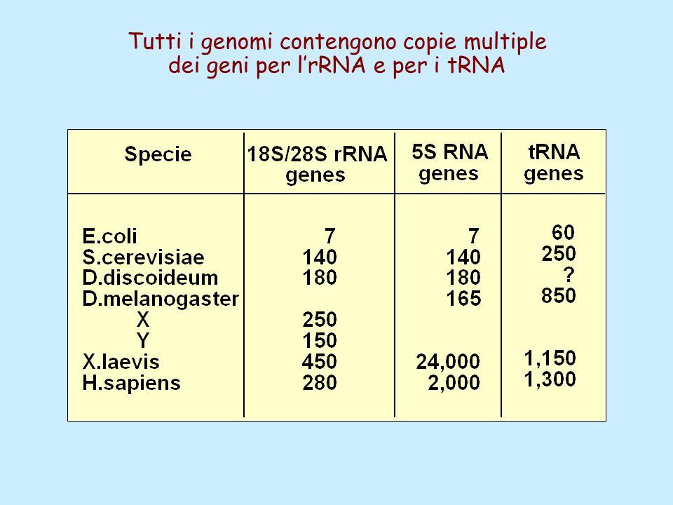 Tutti i genomi contengono copie multiple
