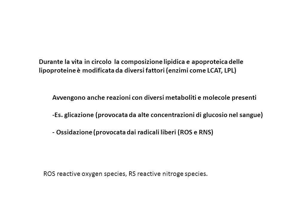 Durante la vita in circolo la composizione lipidica e apoproteica delle lipoproteine è modificata da diversi fattori (enzimi come LCAT, LPL)