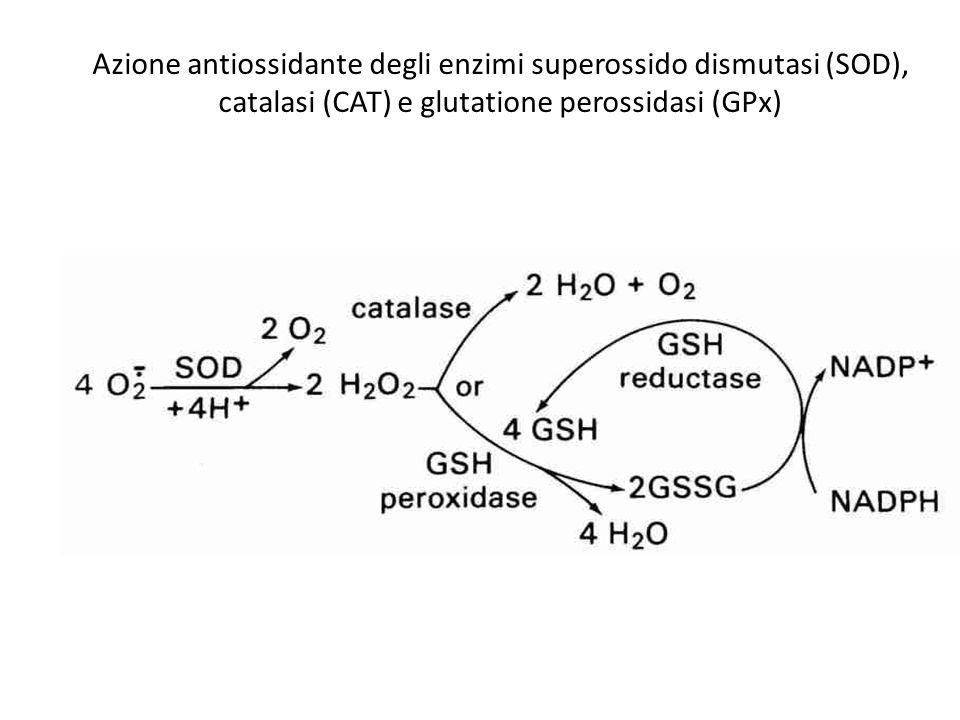 Azione antiossidante degli enzimi superossido dismutasi (SOD), catalasi (CAT) e glutatione perossidasi (GPx)