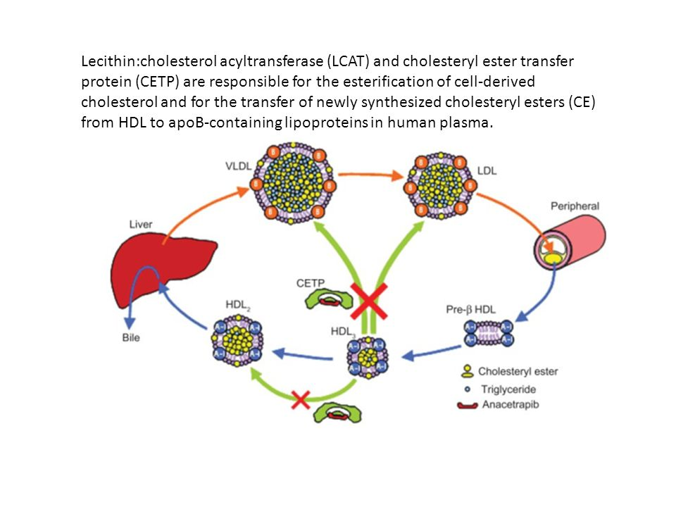 Lecithin:cholesterol acyltransferase (LCAT) and cholesteryl ester transfer protein (CETP) are responsible for the esterification of cell-derived cholesterol and for the transfer of newly synthesized cholesteryl esters (CE) from HDL to apoB-containing lipoproteins in human plasma.
