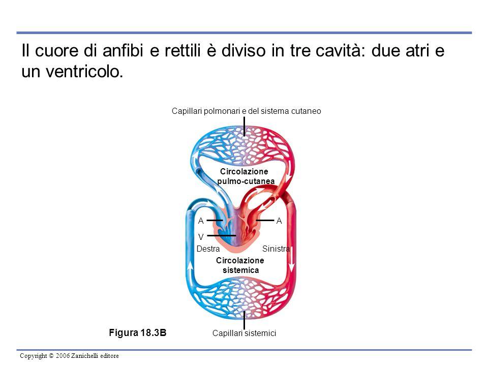 Capillari polmonari e del sistema cutaneo