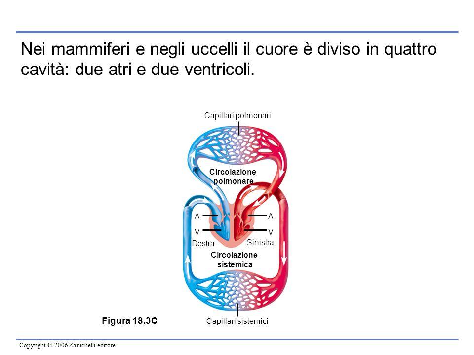 Nei mammiferi e negli uccelli il cuore è diviso in quattro cavità: due atri e due ventricoli.