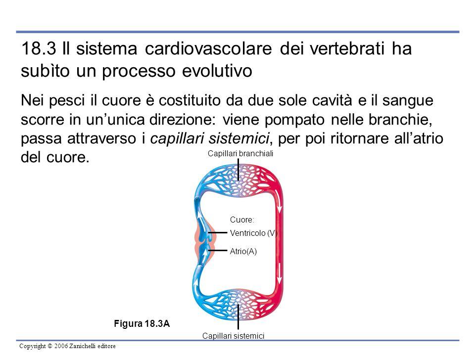 18.3 Il sistema cardiovascolare dei vertebrati ha subìto un processo evolutivo