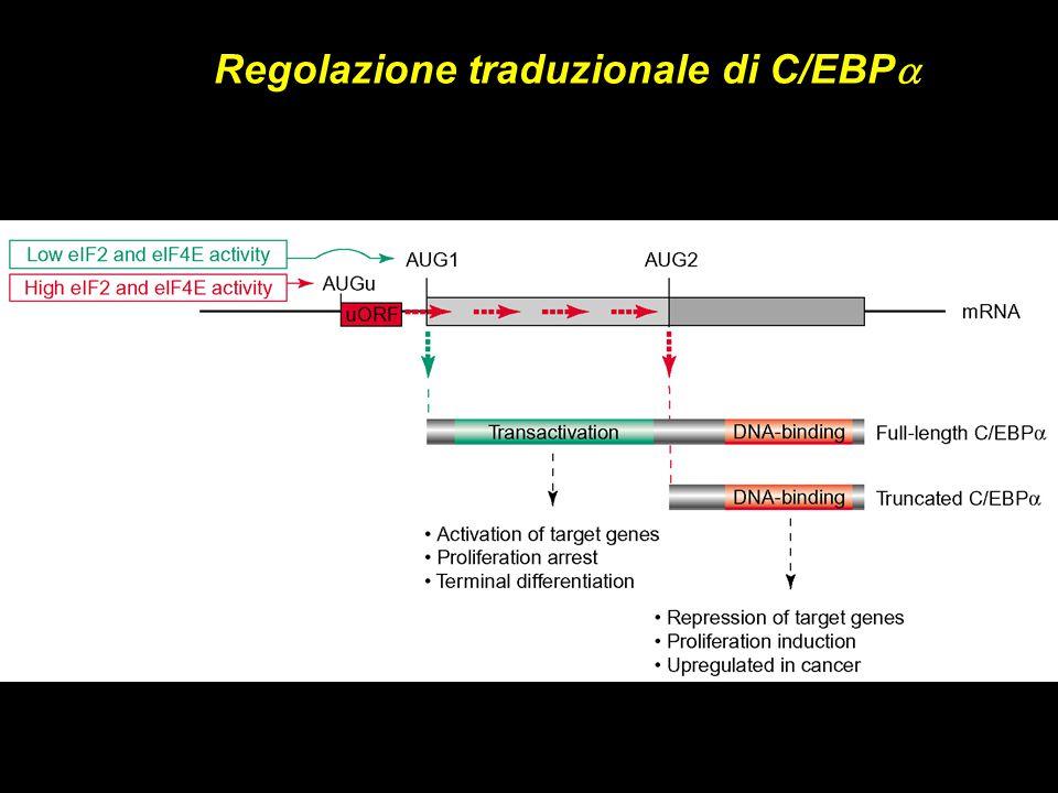 Regolazione traduzionale di C/EBPa
