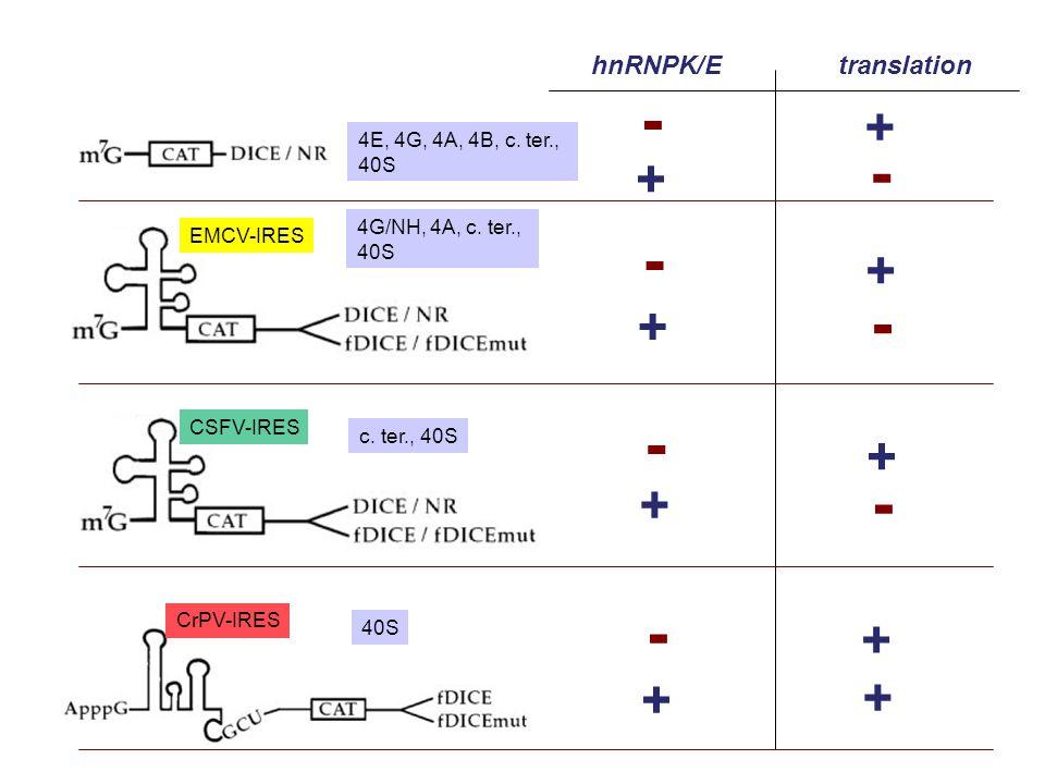 - + hnRNPK/E translation 4E, 4G, 4A, 4B, c. ter., 4G/NH, 4A, c. ter.,