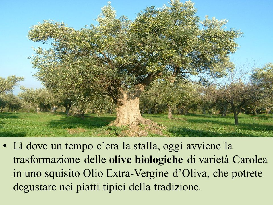 Lì dove un tempo c'era la stalla, oggi avviene la trasformazione delle olive biologiche di varietà Carolea in uno squisito Olio Extra-Vergine d'Oliva, che potrete degustare nei piatti tipici della tradizione.