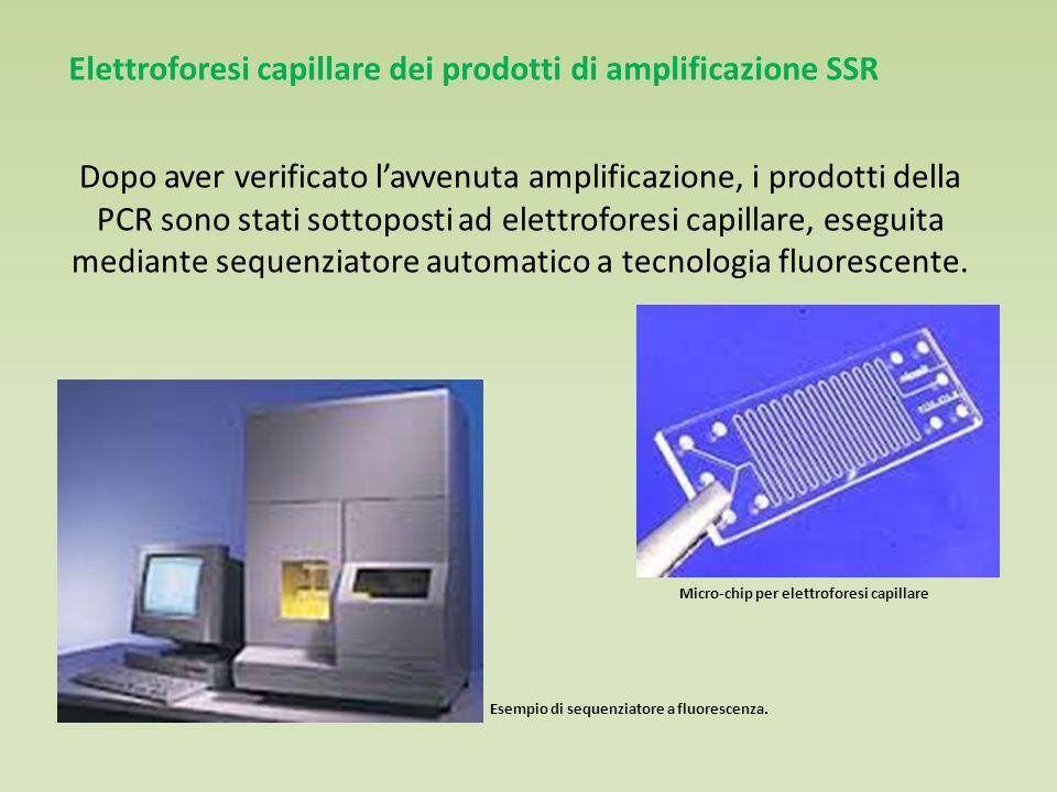 Elettroforesi capillare dei prodotti di amplificazione SSR