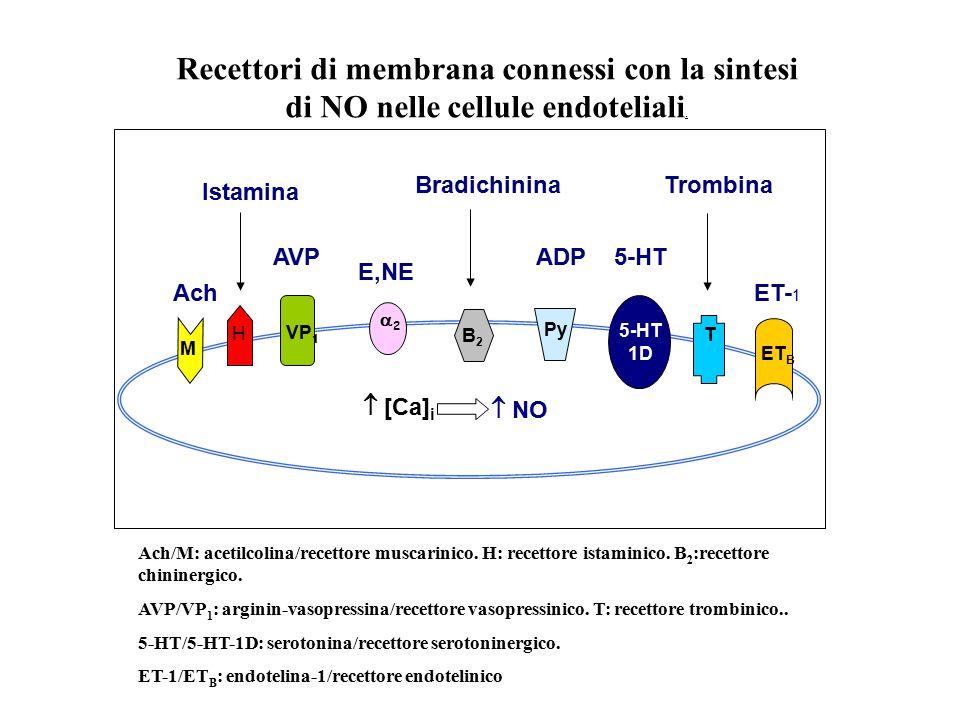 Recettori di membrana connessi con la sintesi di NO nelle cellule endoteliali.
