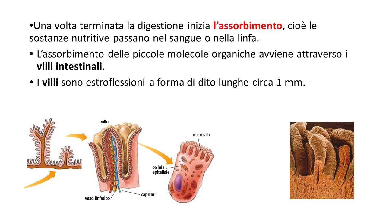 Una volta terminata la digestione inizia l'assorbimento, cioè le sostanze nutritive passano nel sangue o nella linfa.